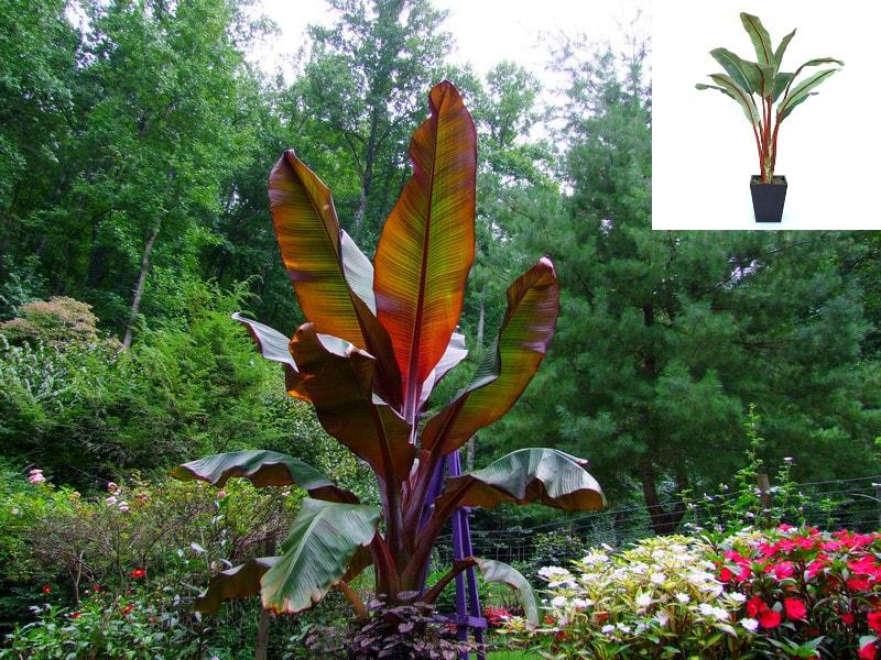 Red Banana Plant