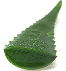 Aloe Vera for Razor Bumps and Pimples